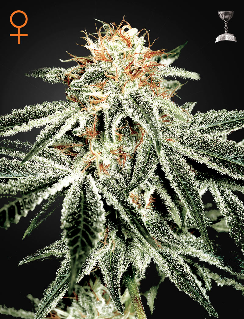 Weed Strains For Cold Environments