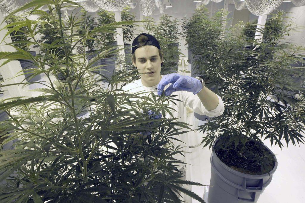 medical marijuana producer licence