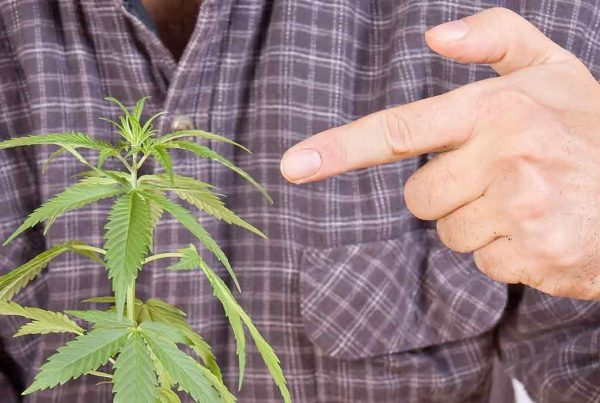 voting yes marijuana poll