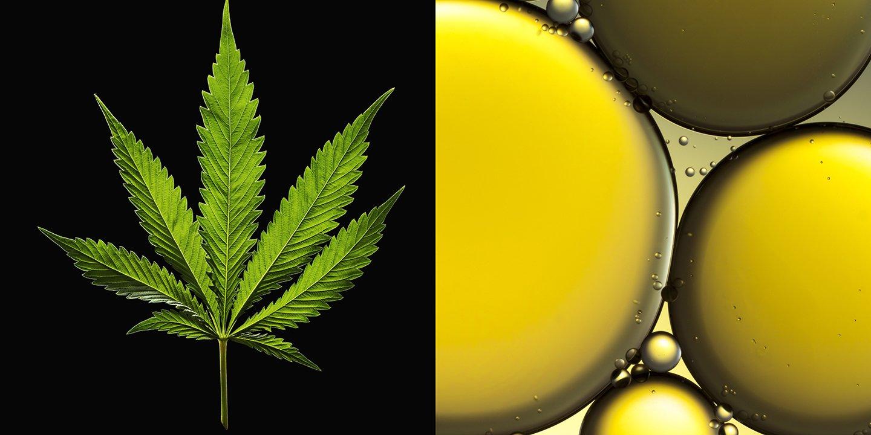 CBD Versus Marijuana